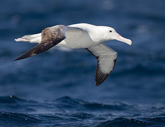 Picture of a royal albatross (Diomedea epomophora)