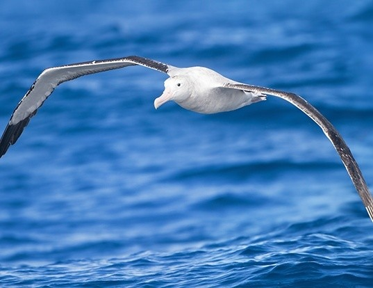 Picture of a wandering albatross (Diomedea exulans)
