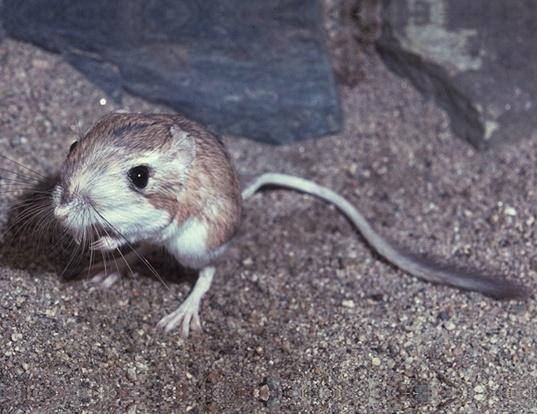 NAKED MOLE-RAT LIFE EXPECTANCY