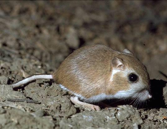Picture of a heermann's kangaroo rat (Dipodomys heermanni)