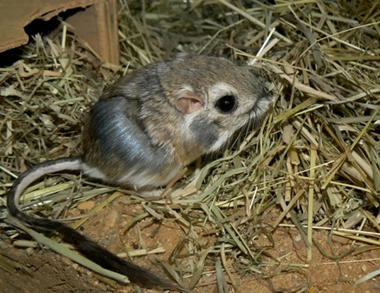 Picture of a merriam's kangaroo rat (Dipodomys merriami)