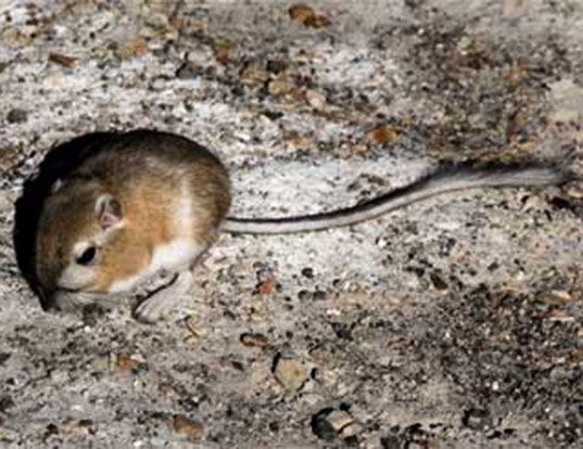Picture of a chisel-toothed kangaroo rat (Dipodomys microps)