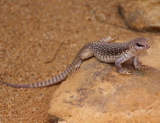 Picture of a desert iguana (Dipsosaurus dorsalis)