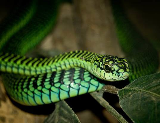 Picture of a boomslang (Dispholidus typus)