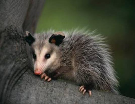 Picture of a feather-tailed possum (Distoechurus pennatus)