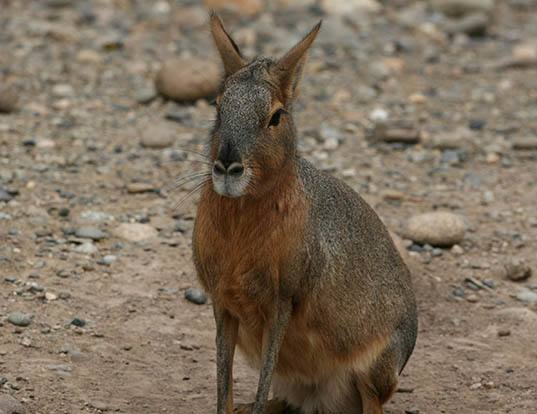 Picture of a patagonian cavy (Dolichotis patagonum)