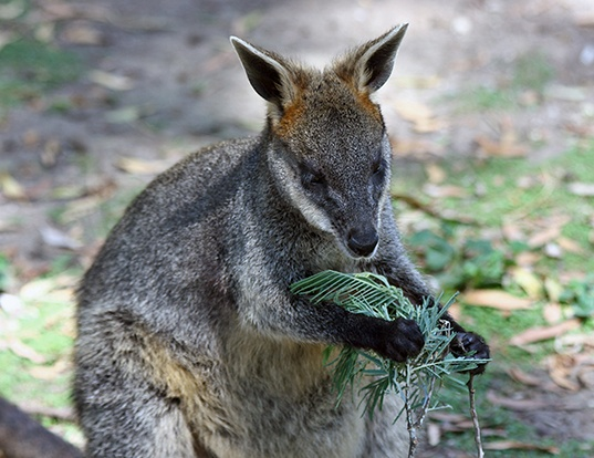 Picture of a new guinean forest wallaby (Dorcopsis veterum)