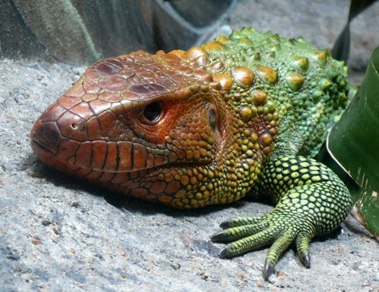 Picture of a northern caiman lizard (Dracaena guianensis)