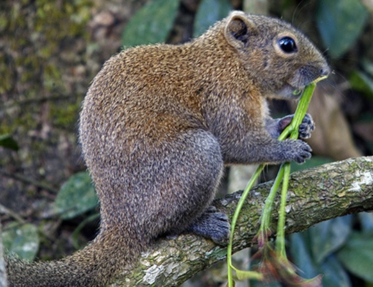 Picture of a orange-bellied himalayan squirrel (Dremomys lokriah)