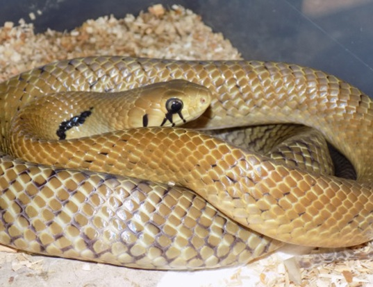 Picture of a texas indigo snake (Drymarchon corais melanurus)
