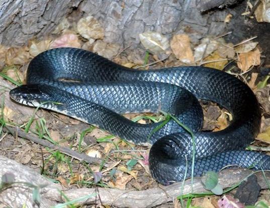 Picture of a indigo snake (Drymarchon corais rubidus)
