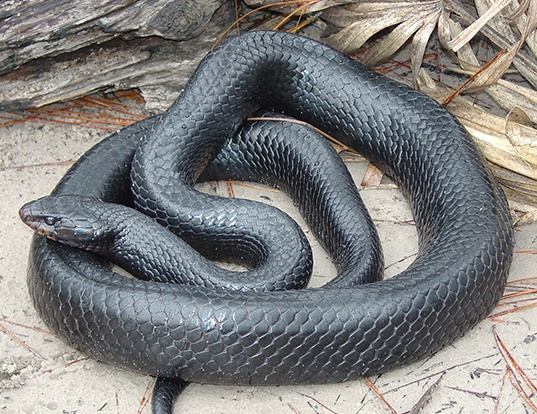 Picture of a eastern indigo snake (Drymarchon couperi)