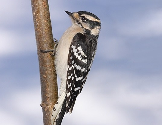 Picture of a downy woodpecker (Dryobates pubescens)