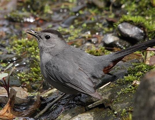 Picture of a gray catbird (Dumetella carolinensis)