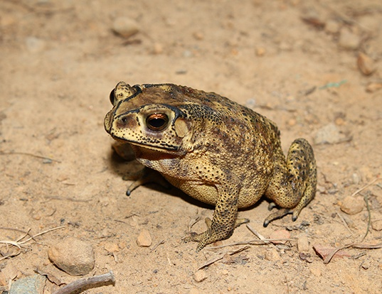 Picture of a asian common toad (Duttaphrynus melanostictus)