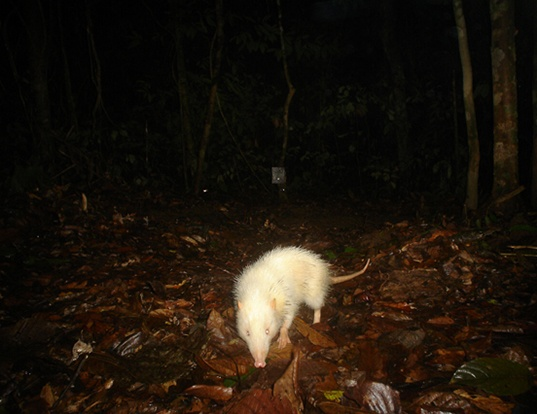 Picture of a moonrat (Echinosorex gymnura)