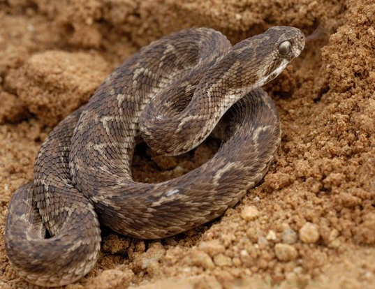 Picture of a saw-scaled viper (Echis carinatus)