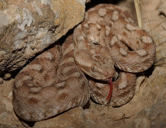 Picture of a palestine saw-scaled viper (Echis coloratus)