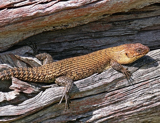 Picture of a cunningham's skink (Egernia cunninghami)
