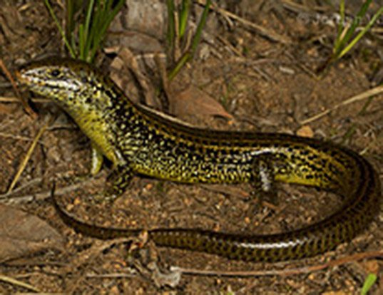 Picture of a mourning skink (Egernia luctuosa)