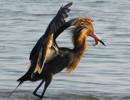 Picture of a reddish egret (Egretta rufescens)