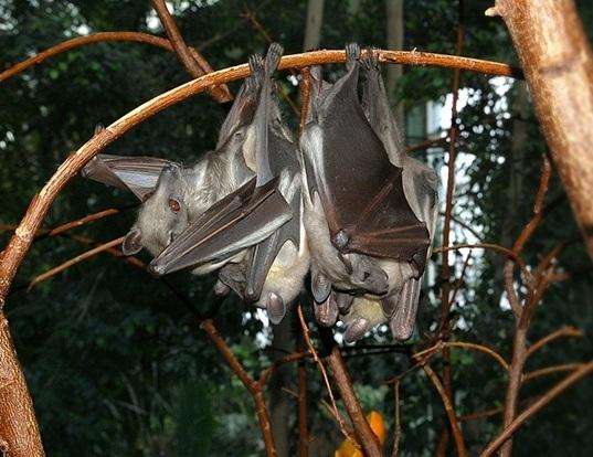 Picture of a african straw-coloured fruit-bat (Eidolon helvum)