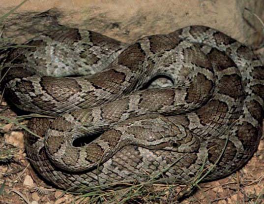 Picture of a great plains rat snake (Elaphe guttata emoryi)