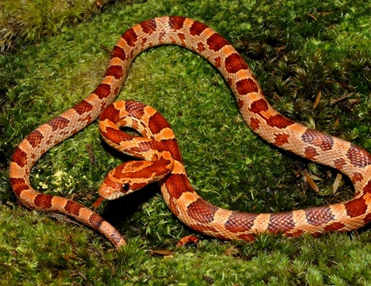 Picture of a corn snake (Elaphe guttata guttata)