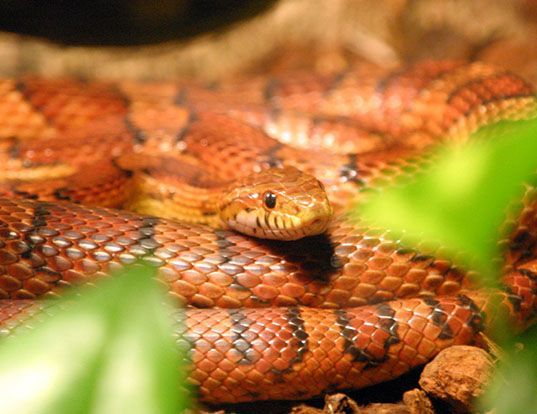 Picture of a red corn snake (Elaphe guttata)