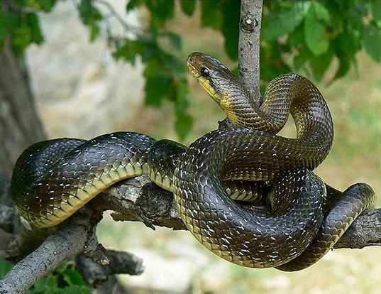 Picture of a aesculapian rat snake (Elaphe longissima)