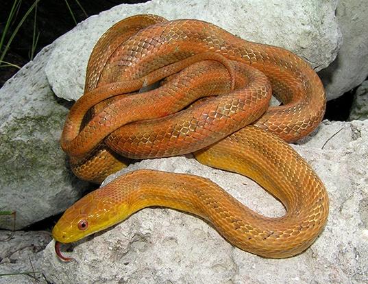 Picture of a yellow rat snake (Elaphe obsoleta quadrivittata)