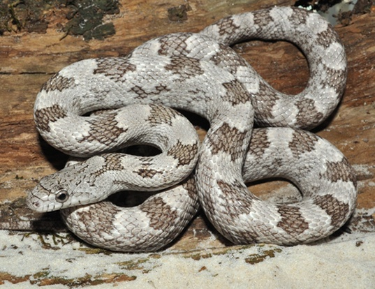 Picture of a gray rat snake (Elaphe obsoleta spiloides)