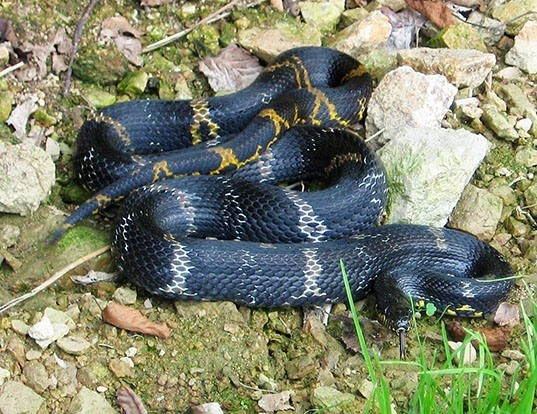Picture of a amur ratsnakes (Elaphe schrenckii)