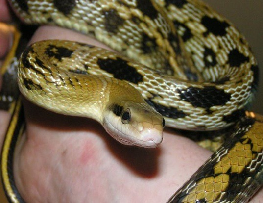 Picture of a taipan beauty snake (Elaphe taeniura)
