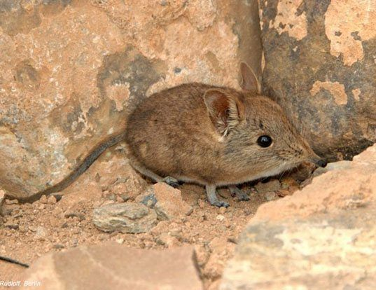 Picture of a north african sengi (Elephantulus rozeti)