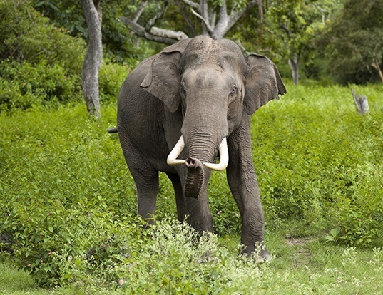 Picture of a asian elephant (Elephas maximus)