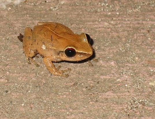 Picture of a coqui (Eleutherodactylus coqui)