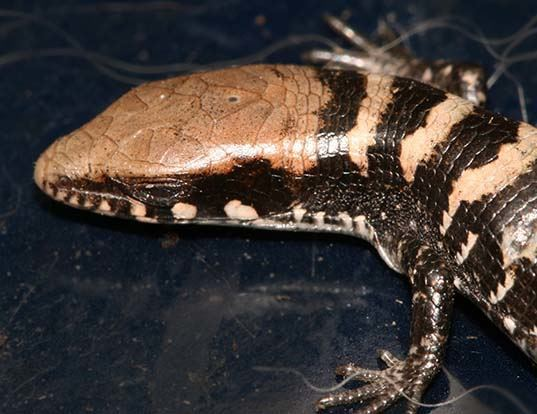Picture of a madrean alligator lizard (Elgaria kingii)