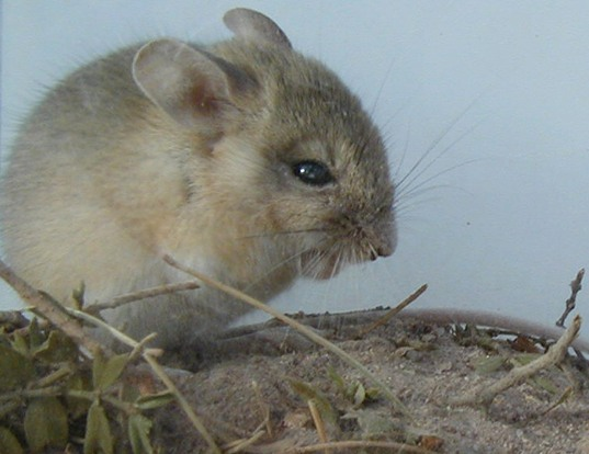 Picture of a highland gerbil mouse (Eligmodontia typus)