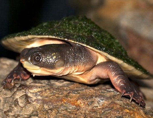Picture of a northern australian snapping turtle (Elseya dentata)