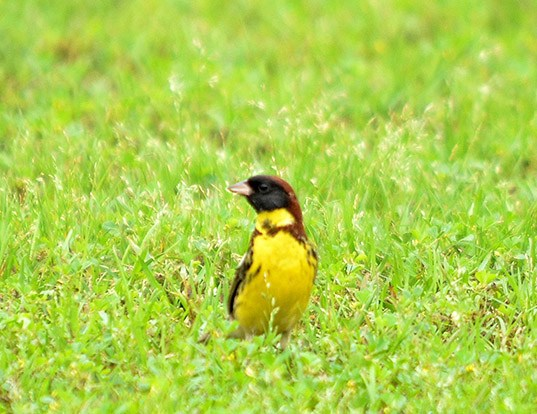 Picture of a yellow-breasted bunting (Emberiza aureola)