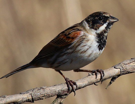 Picture of a reed bunting (Emberiza schoeniclus)