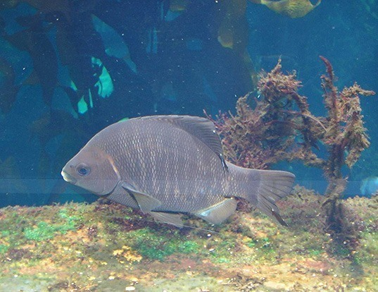 Picture of a black perch (Embiotoca jacksoni)