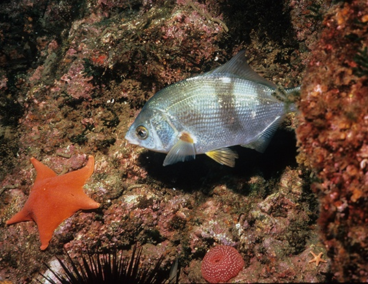 Picture of a striped seaperch (Embiotoca lateralis)