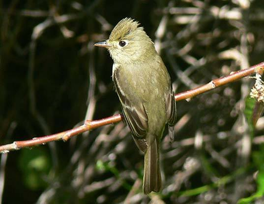 Picture of a western flycatcher (Empidonax difficilis)