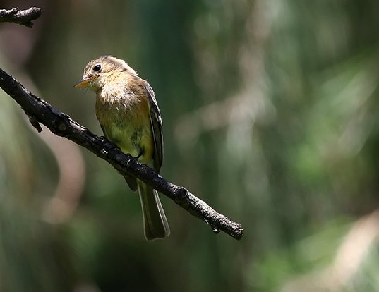 Picture of a buff-breasted flycatcher (Empidonax fulvifrons)