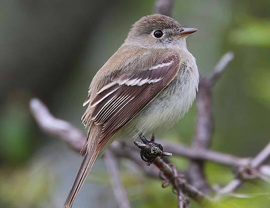 Picture of a least flycatcher (Empidonax minimus)