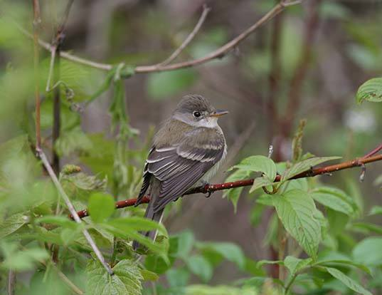 Picture of a willow flycatcher (Empidonax traillii)