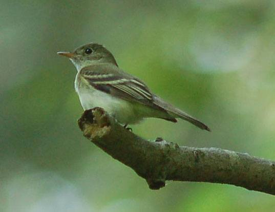Picture of a acadian flycatcher (Empidonax virescens)