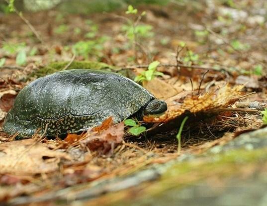 Picture of a blanding's turtle (Emydoidea blandingii)